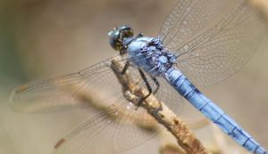Dassia dragonfly August 2014 7 3 by melrissbrook
