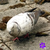 Feral Pigeon 012 (09.06.13) by LacedShadowDiamond
