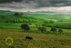 Val d'Orcia cow /Tuscany by JPawlak