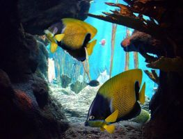 angel fishes by TheUncle