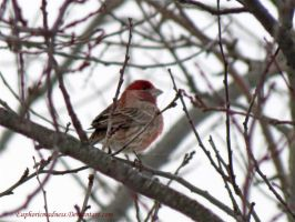 House Finch by euphoricmadness