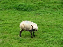 Animals 044 sheep by Dreamcatcher-stock