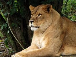 2014 - African lioness 17 by Lena-Panthera