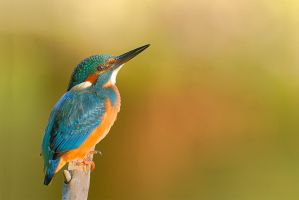 female Kingfisher by MartinAmm