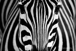 Psychedelic Zebra by oO-Rein-Oo