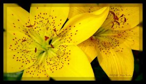 ::yellow lillies by imaginee