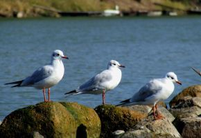 Gull Guys by Socrahcat