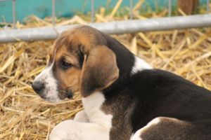 English Foxhound Pup 3 by lucky128stocks