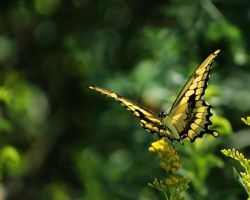 Giant Swallowtail by Anachronist84