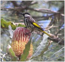 White-cheeked Honeyeater 2 by Ombry