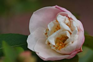 Petty pink flower by a6-k