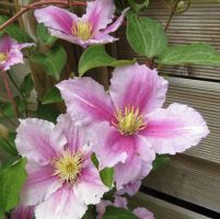 Pink Clematis 1 by Kattvinge