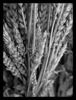 Wheat by lehPhotography