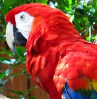 Scarlet Macaw by NycterisA
