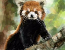 Red Panda by Eenuh