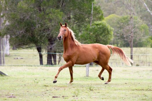 Dn wb chestnut trot side view ears pricked by Chunga-Stock