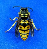 Eastern Yellow Jacket Queen by seto2112