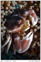 porcelain crab 2 by carettacaretta