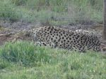 Monarto 2014: Cheetah 02 by lizardman22