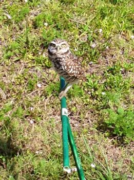 Ground owl in the sun. by UnheardMadness