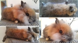 Tort Lionhead Rabbit Softmount SOLD by DeerfishTaxidermy