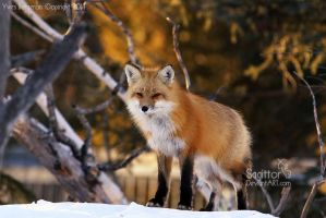 Sly Fox by Sagittor