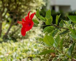 Another Hibiscus by Eliweisz