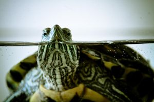 Turtle1 by photodeny