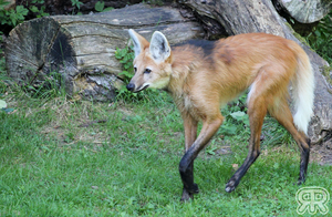 Maned Wolf by Renathory