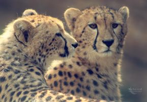 Young Cheetahs by CarissaGagashi