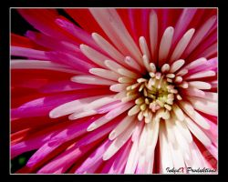 Photo: Flower Burst by Insidious-Ink