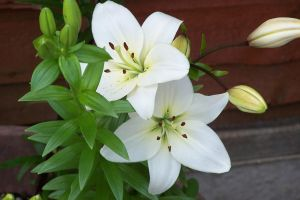 White Lilies by henzunducks