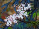 Elderberry Flowers by MadGardens