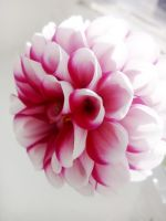 pink and white flower by blackangel212
