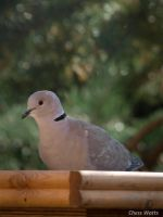 Ring Collared Dove II by ChessW24