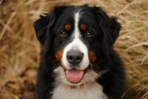 Face bernese by Drocco