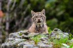 Another lynx... by White-Voodoo