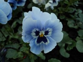 Blue Pansies by 003145