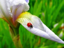 Ladybug Wandering on a White Iris by Cloudwhisperer67