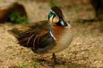 Duck-Day Baikal Teal Anas for. by webcruiser