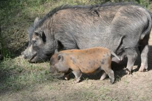 These Little Piggies, Mommy and Baby by Miss-Tbones