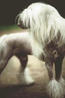 Chinese Crested called Mojo by Inside-my-ART