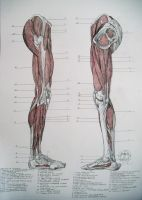 Muscles of legs. Sides by reinisgailitis