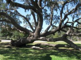 Dave\'s Pics 2 305 Florida Vac Zacchaeus Tree by crazygardener