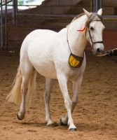 STOCK - 2014 Andalusian Nationals-159 by fillyrox