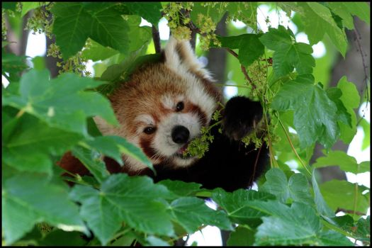 Red panda eating by AF--Photography