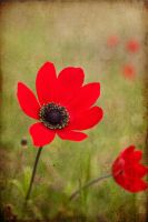 poppy by valentina----v