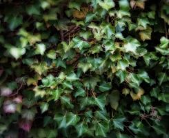StockHeaven ~ Texture nature ivy hedge 4 by StockHeaven