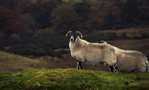 Carntogher Ewe III by younghappy