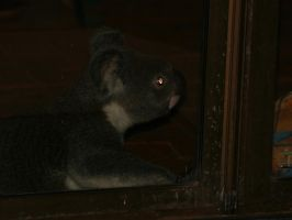 KOALA AT DOOR 3 by LESHA